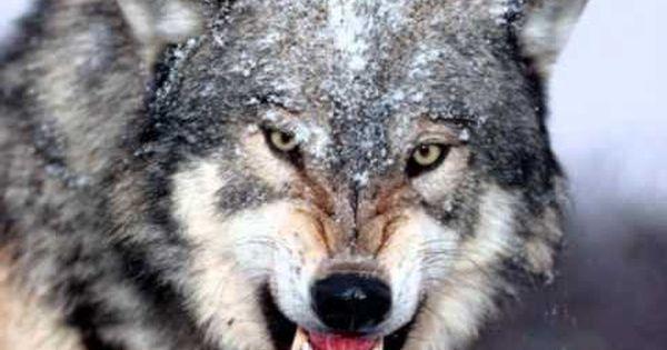 Manowar - Spirit Horse Of The Cherokee (& Wolf sounds) #music
