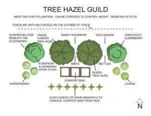 Hazel Tree Guild ~ via Midwest Permaculture
