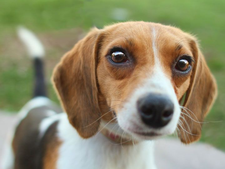 Miniature beagles!