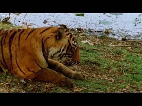 Tiger fights with her mother to become queen - Natural World: Queen of #Tigers - BBC Two