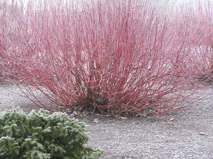 Red osier dogwood cornus sericea stolonifera these for Red twig dogwood
