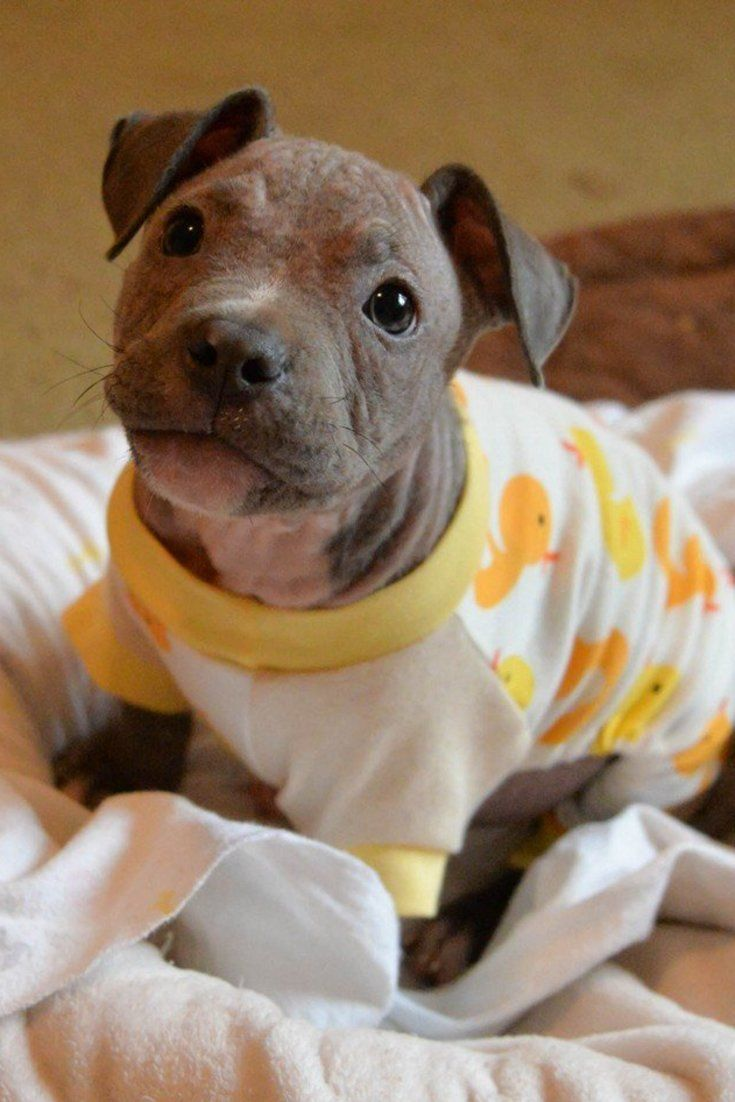 Pup Who Escaped Euthanasia Wears Teeny PJs To Protect His Fragile Skin (Huffington Post — Good News) /// Ollie is being fostered by Candice Miller, Roofus & Kilo's mom. Their Facebook page is https://www.facebook.com/roofusandkilo/?fref=ts
