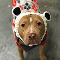 New York, New York - Pit Bull Terrier. Meet June Bug, a for adoption. https://www.adoptapet.com/pet/20097891-new-york-new-york-pit-bull-terrier-mix
