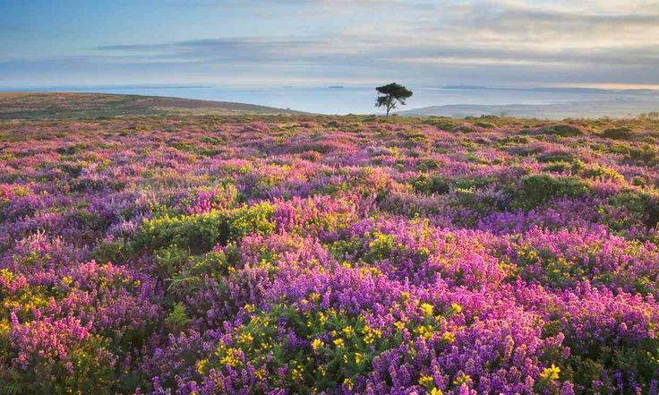 Heather and gorse in flower on the Quantocks