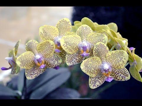 Как заставить цвести орхидею 2 - YouTube