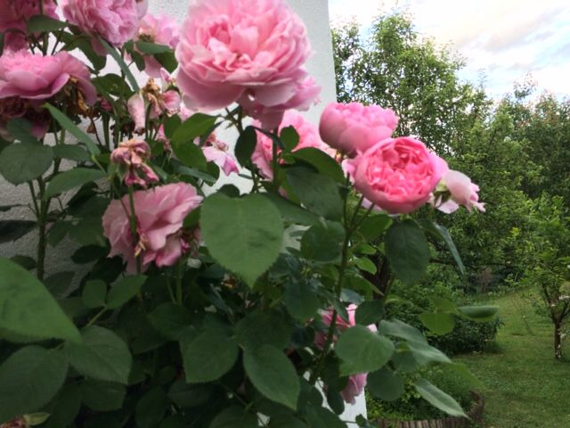 My favorite roses