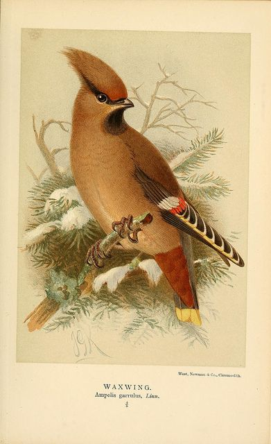 jomobimo: Waxwing, Coloured Figures of the Birds of the British Islands / issued by Lord Lilford, 1885-1897