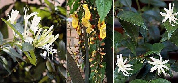 Madressilva, sapatinho-de-judia e jasmim-estrela (Foto: Evelyn Müller)