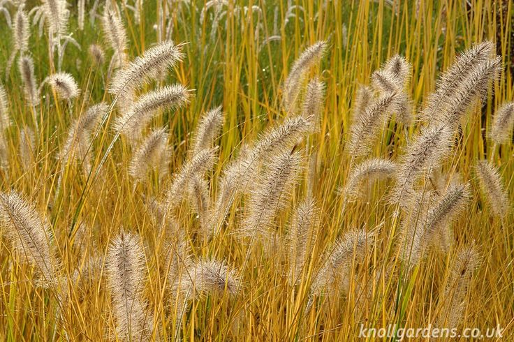 pennisetum cassian, fall color - Google Search