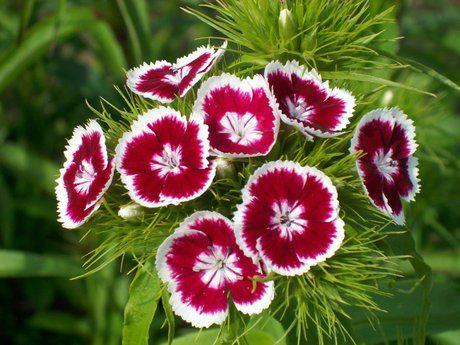 Брадат карамфил, Диантус барбатус Dianthus barbatus