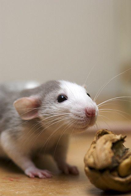 rats <3 walnuts.  I love little dumbo earred rattys.  I miss mine so much!