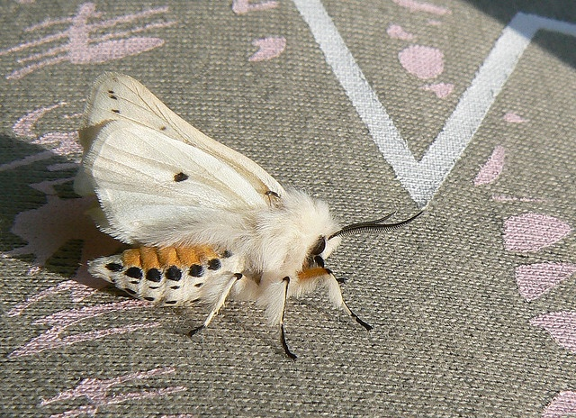 one of these landed in my kitchen once - ermine moth