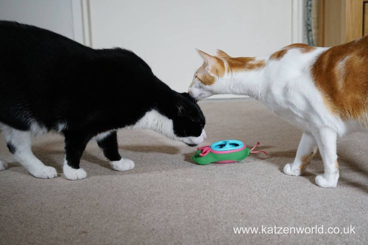 """Oliver & Renegade: A """"cat fight"""" over a mouse find this fantastic photo from Katzenworld"""
