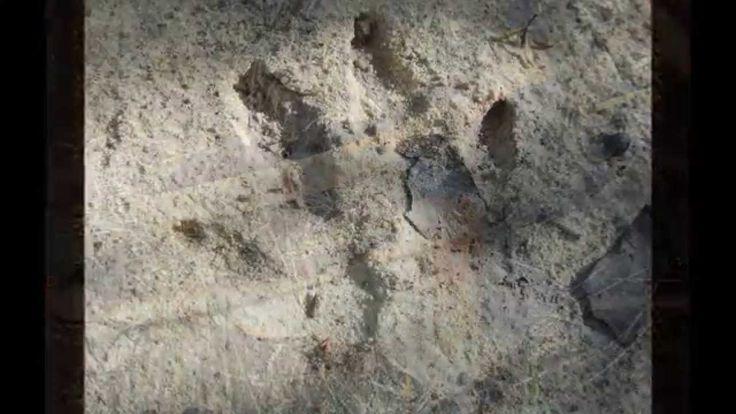 Australian Bushcraft Tracking ..Tracks,Bones and Scat