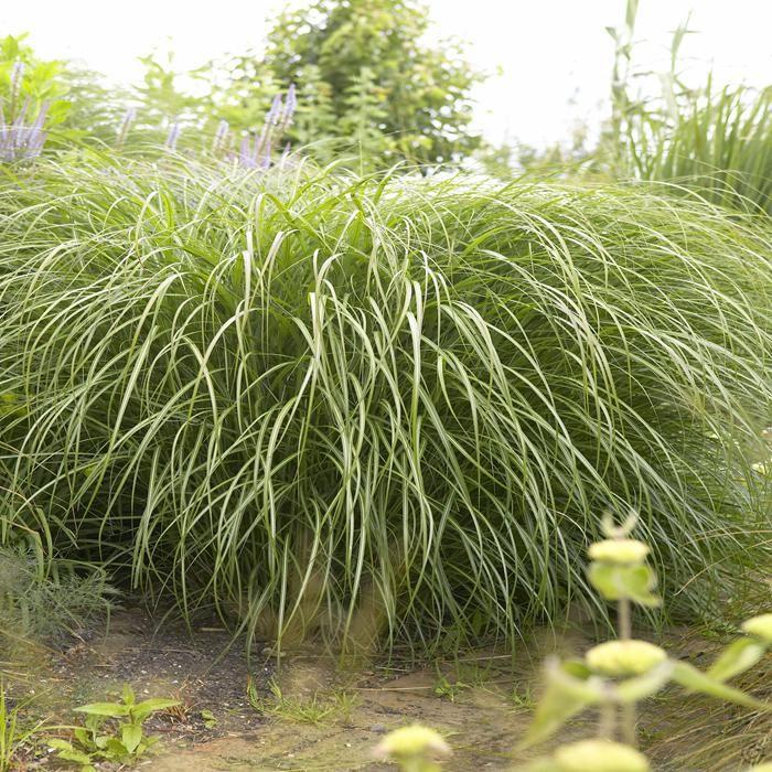 Miscanthus sinensis Yaku Jima Dwarf - 1 plant Buy online order yours now