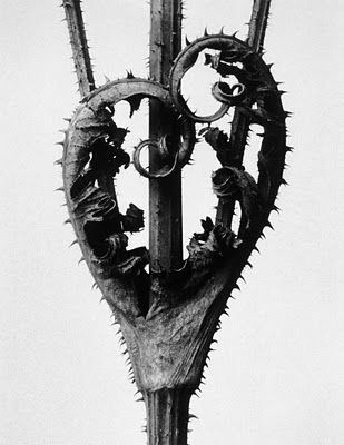 Karl Blossfeldt, Dipsacus laciniatus, Cut-leaved teasel