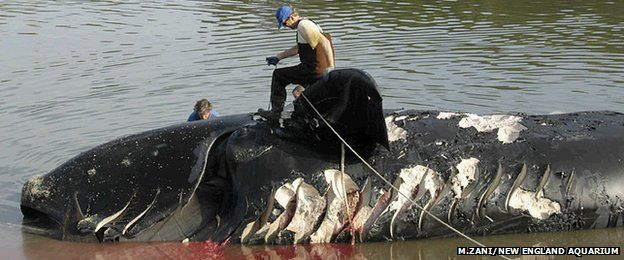 Northern right whale ship strike and numbers are already low.