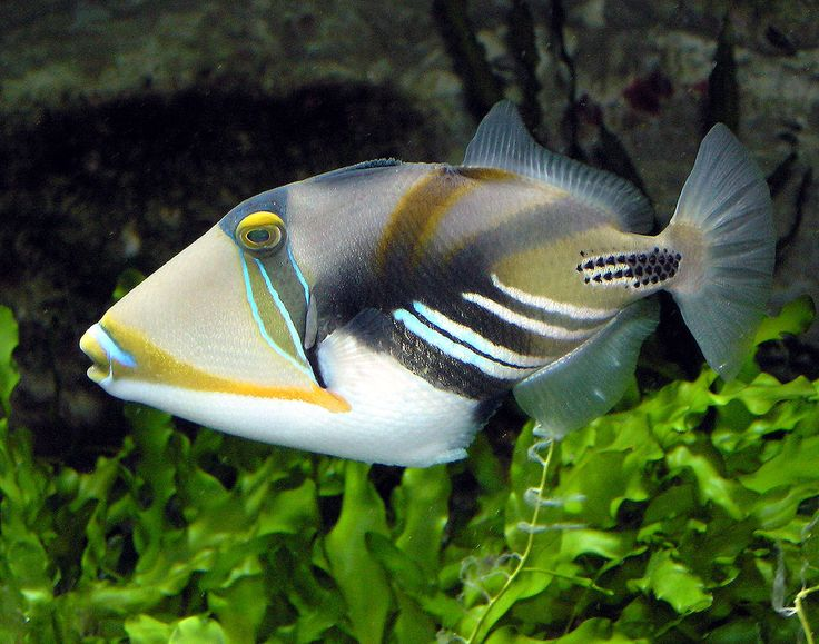 Trigger-fish are often brightly-colored; often marked by lines and spots. They inhabit tropical and sub-tropical oceans throughout the world, with the greatest species richness in the Indo-Pacific. Mostly found in shallow, coastal habitats, especially at coral reefs, but a few, such as the aptly named oceanic triggerfish (Canthidermis maculata), are pelagic. While several species from this family are popular in the marine aquarium trade, they are often notoriously ill-tempered