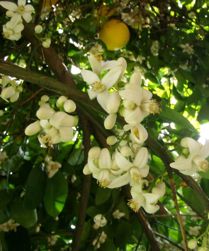 best  grapefruit tree ideas on   indoor fruit trees, Natural flower