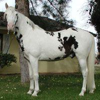 Gaited Black & White Spotted Missouri Foxtrotter Stallion