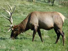 Elk Hunting Trips Review - http://www.isportsandfitness.com/elk-hunting-trips-review/