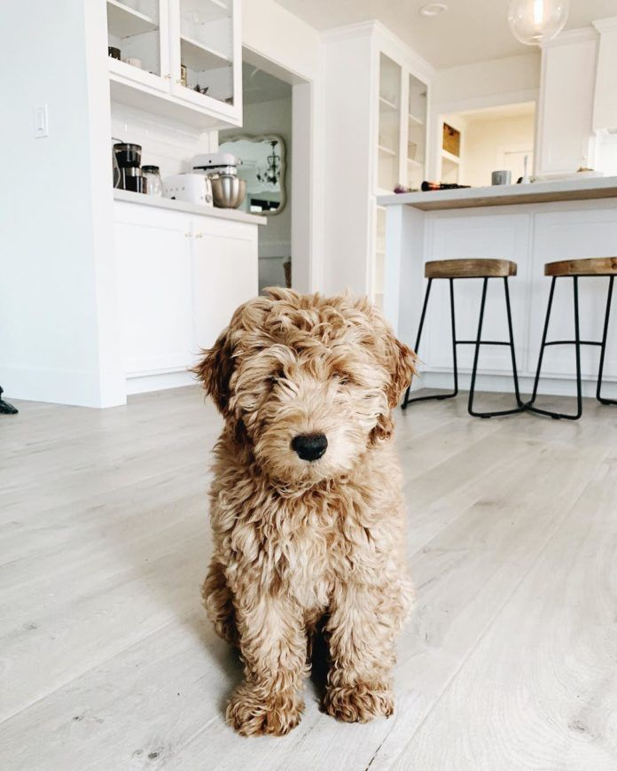 Cute Goldendoodle Puppies Goldendoodles Are The Ultimate Combination Of Good Looks Smart W In 2020 Family Friendly Dogs Mini Goldendoodle Puppies Goldendoodle Puppy