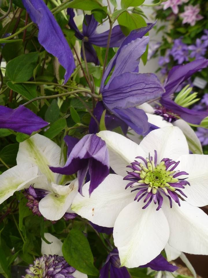 Gorgeous purple and white clematis