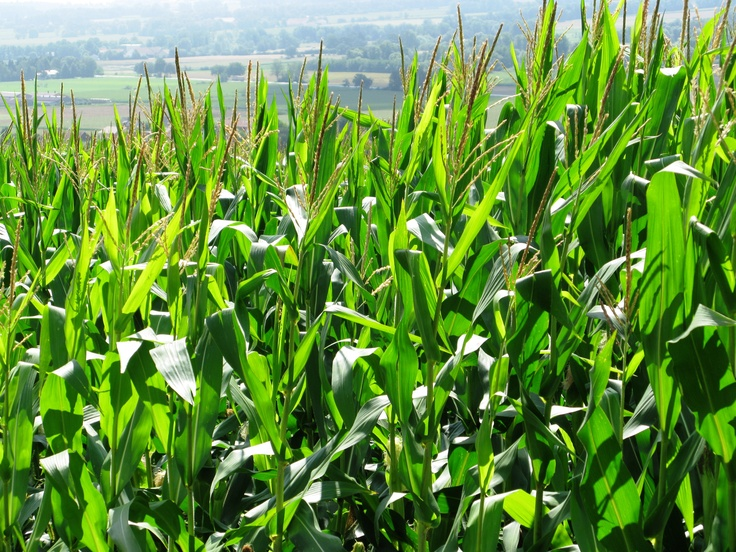 """""""Maize"""", Bad Griesbach, Germany"""