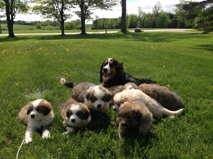 Bernese and Great Pyrenees mix puppies Puppy litter