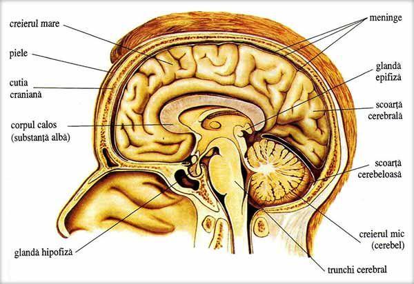 Cutia craniana