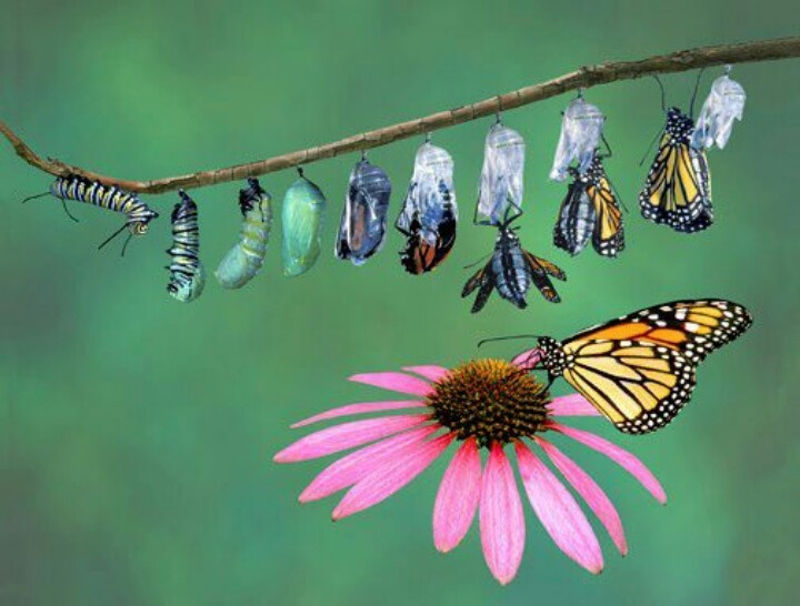 Butterfly life stages | Cute Caterpillars | Pinterest