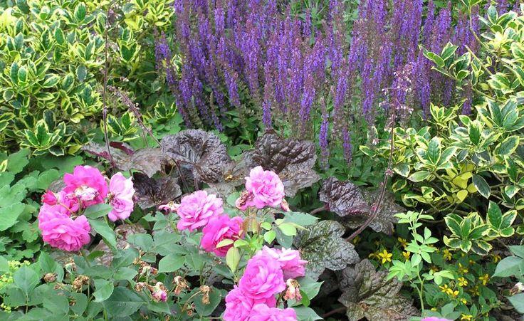Rosen und Salbei dürfen im immerblühenden Beet nicht fehlen. Beide Pflanzen harmonieren sehr gut miteinander und blühen lange