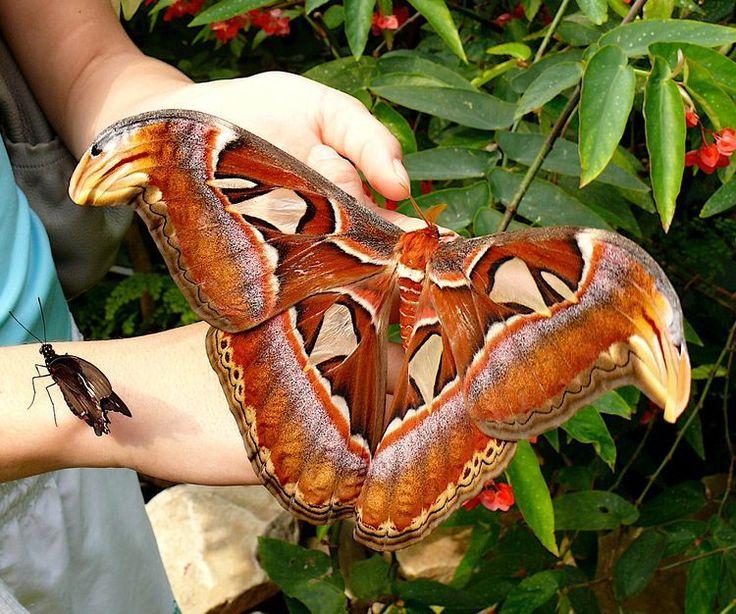 Le papillon géant Attacus Atlas ne vit que quelques jours, pour se reproduire. Ne peut pas se nourrir, son appareil buccal est atrophié.