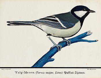 MAGNUS VON WRIGHT, Ung talgoxe (Parus major). - 1825.