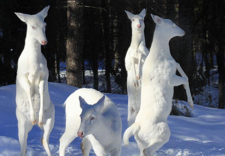 A deer family.  These Rare Albino Animals Prove You Don't Need Color to Look Spectacular