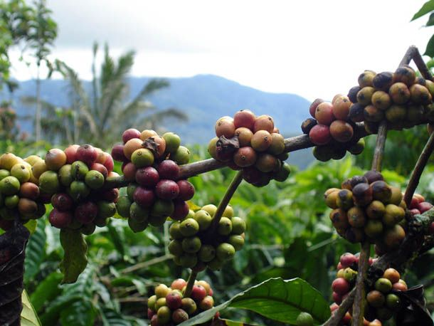Though many specialty roasters will carry a Sumatran or neighboring Sulawesi coffee on their list from time to time, they can be more challenging to sell, and taste, than more popularly understood—and livelier, sweeter—coffees currently sold from regions like East Africa or Central America