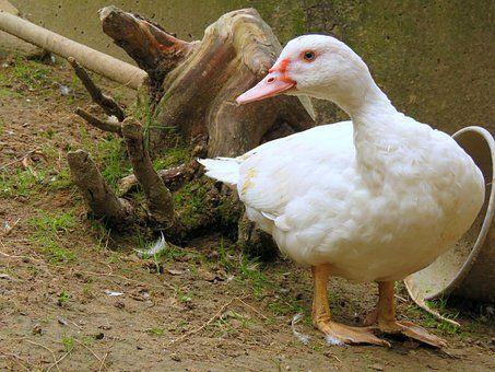 Kaczka, Pływające Kaczki, Biały