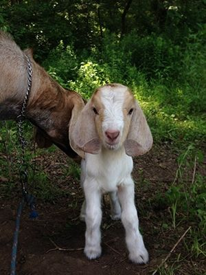 Hi everyone!  I am new here.  We just bought our first sheep about 6 weeks ago and had our first lamb on 4/17.  It's a ram, and we had already bought a...