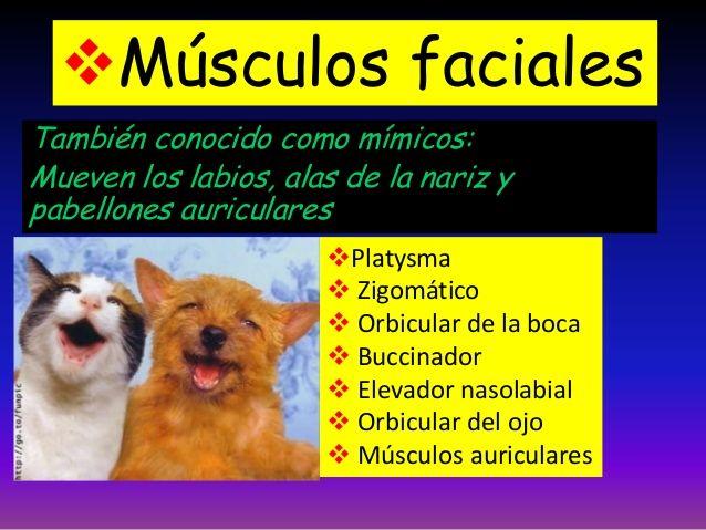 También conocido como mímicos: Mueven los labios, alas de la nariz y pabellones auriculares Músculos faciales Platysma ...