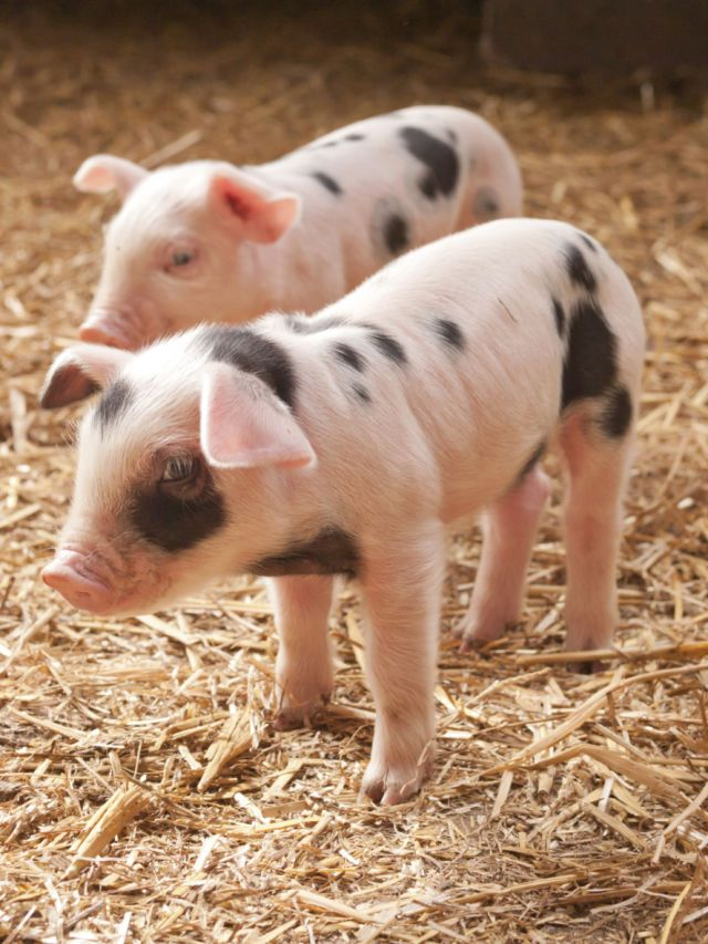 These two cute little piggies are so adorable!