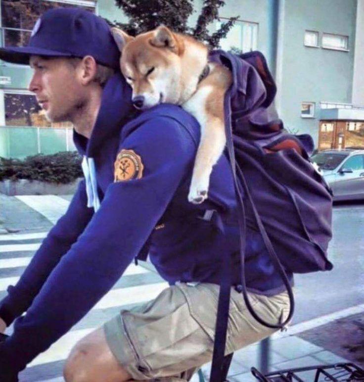 sleepy Shiba trusts his human