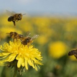 What to plant in your yard to encourage honeybees