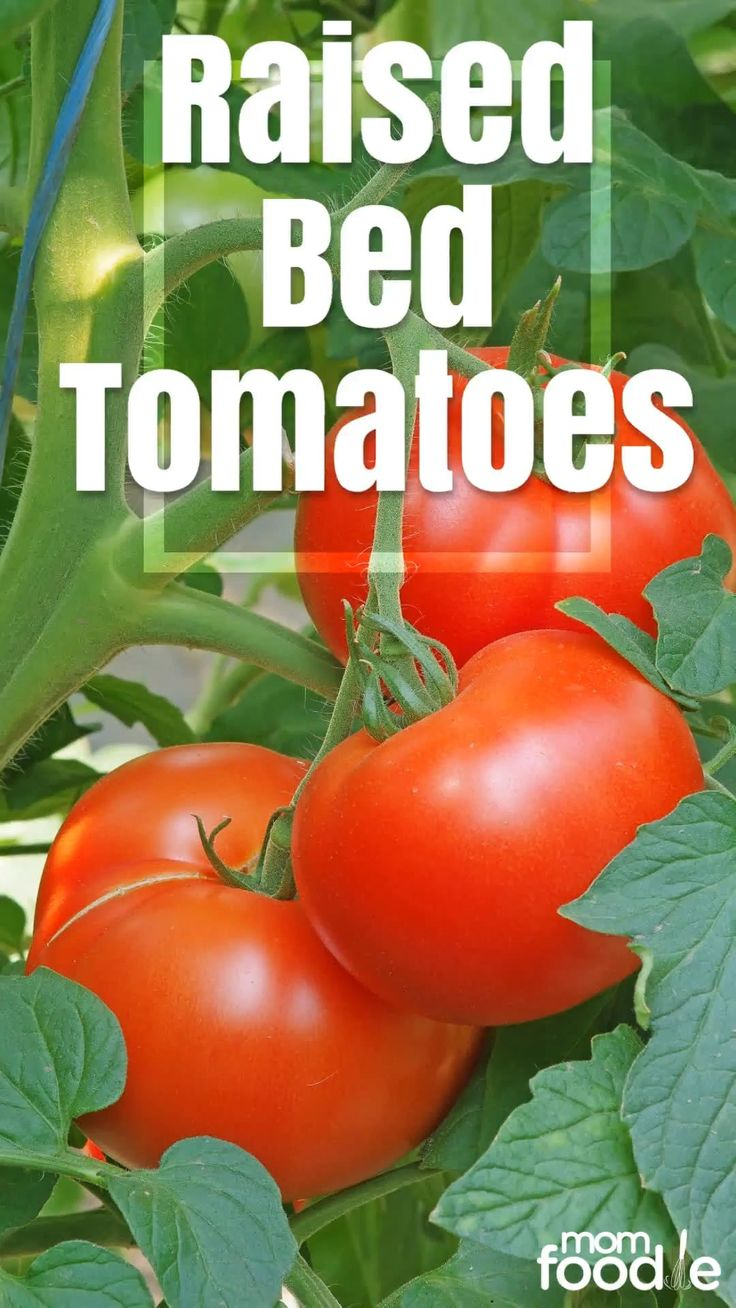 How to Grow Tomatoes in a Raised Bed [Video] [Video] in