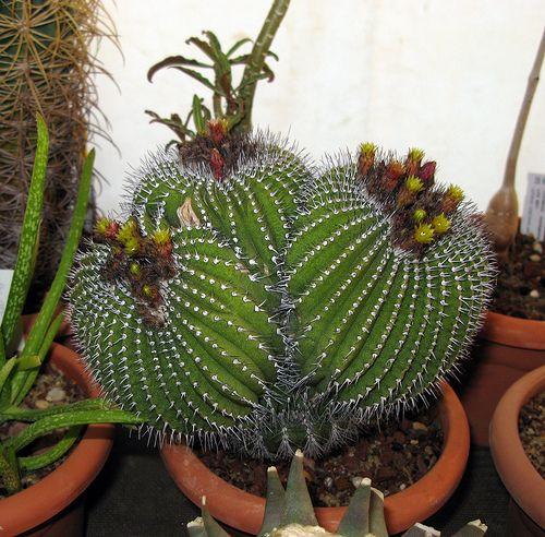 M s de 25 ideas incre bles sobre plantas crasas en for Informacion sobre el cactus
