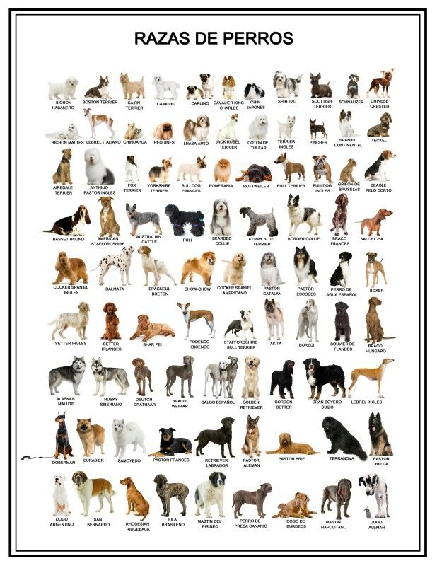 Razas de perros.