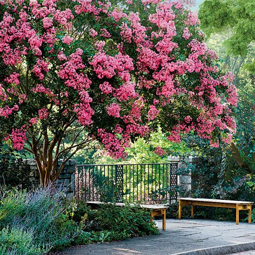 Crape Myrtle Trees In Full Bloom During Summer. Low Water Tree At Its Best.