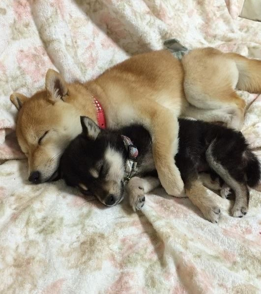 Let's just take a moment to appreciate this dog snuggling her family's new puppy. #cute #adorable #dogs #doglovers