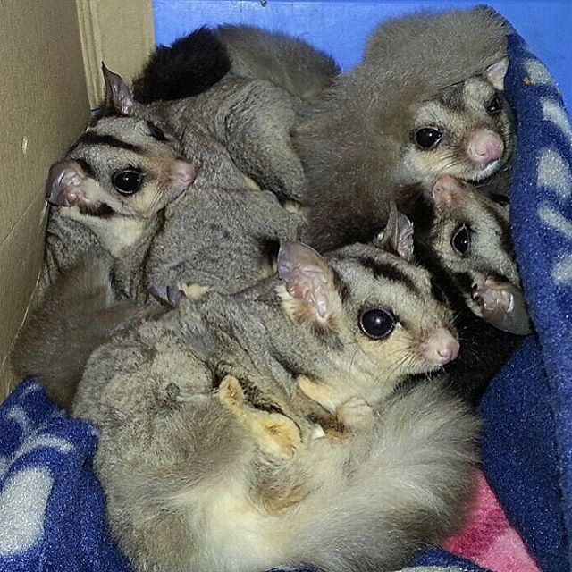 Did anyone else not want to get out of bed this Sunday Morning?  These little guys are Sugar Gliders and are native to the surrounding areas of Cooberrie Park!  #visitcapricorn #southerngreatbarrierreef #cooberriepark #yeppoon #visityeppoon #rockhampton #discoverqueensland #visitrockhampton #wildlife #animals #nature #attraction #queensland #australia #tourismqueensland #visitqueensland #tourismaustralia #seeaustralia #thisisqueensland #ausbackpacking #thisiscq