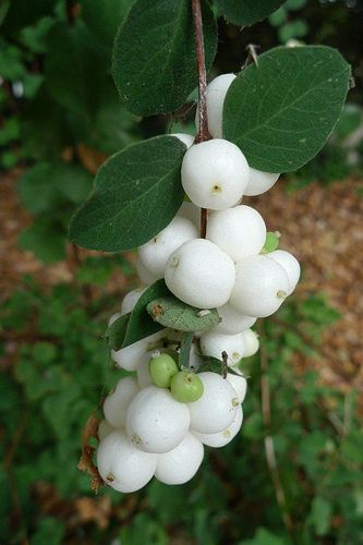 snowberries (also known as waxberries or ghostberries), part of the honeysuckle family