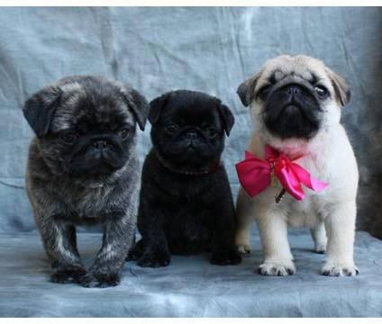 brindle, black & fawn! beautiful baby pugs